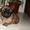 Щенки пекинеса, 4 щенка(мальчики) #686426