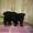 Цвергшнауцер щенки  черного окраса продам #358627