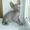 предлагаю котят донские сфинксы #942038