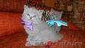 Очаровательные британские котята