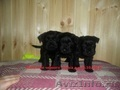 Цвергшнауцер щенки  черного окраса продам