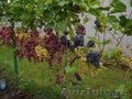 Черенки винограда почтой